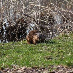 Picture of a muskrat at Morton Arboretum